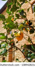 Italy lemon tree in the castle of Toscany