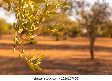 Italy, Puglia Region. One hundred years old olive tree detail.