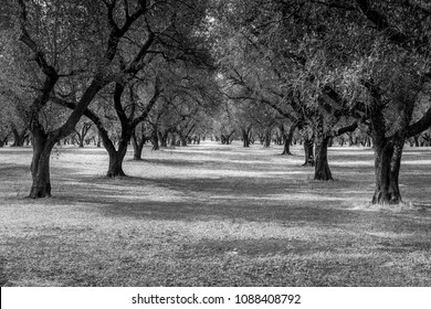 Italy, Puglia region, south of the country. Traditional plantation of olive trees.