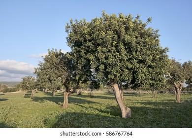 Italy, Sicily, countryside (Ragusa Province), carob trees field