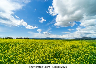 Italy Tuscany Grosseto Maremma rural landscape in bloom, rapeseed fields in flowering hills and pine forest
