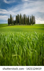 Italy, Tuscany, San Quirico d'Orcia - April, 20, 2019. A group of Mediterranean Cypress trees on a picturesque afternoon in Tuscany.