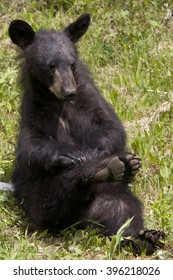 Itchy 1 --  A black bear cub strikes a cute, almost yoga-like pose as it scratches a bothersome itch.