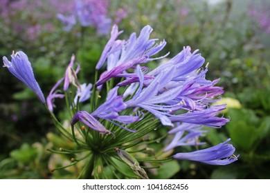 Ithuriel's Spear flower (Common Triteleia, Grassnut, Triplet Lily)
