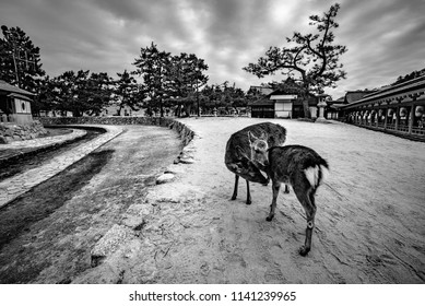 Itsukushima shrine, Miyajima(Itsukushima) Island, Hiroshima prefecture, Chūgoku(San'in-San'yō) region, Japan, January 2017:  Mother deer and her child