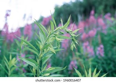 Ivan-tea sprout, growing plant Ivan-tea flower. Wild medicinal herbal tea of willow plant or Epilobium