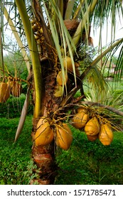ivory coconut is a type of coconut tree whose fruit is ivory yellow, trunked not too high, and is commonly used as an ornamental plant. this tree grows in the tropics. coconut in the greenery.