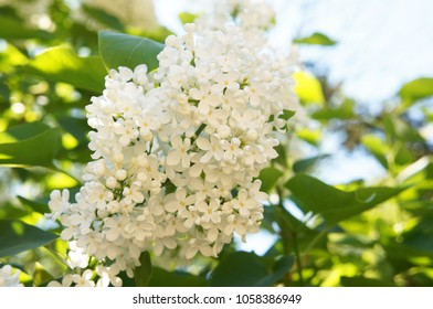 Ivory silk japanese tree lilac or syringa reticulata white flowers