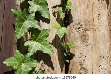 Ivy against a background of wooden logs.