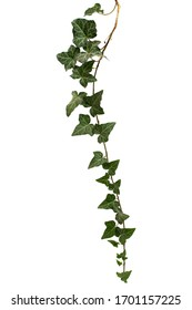 Ivy branch with green foliage, isolated on white background