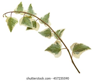 Ivy branch. Hedera, helix. Cose up isolated on white background