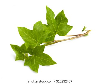 Ivy branch isolated isolated on white background