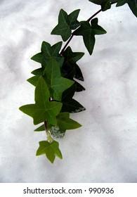 Ivy branch in snow