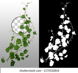 Ivy. Climbing plant in summer isolated on transparent background via an alpha channel of great precision. Very high quality mask without unwanted edge. High resolution for professional composition.