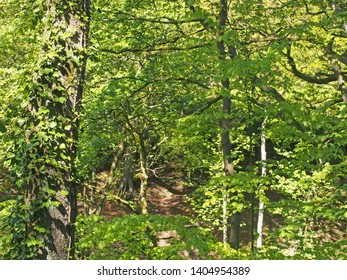 an ivy covered tree trunk in front of dense tangled woodland with vibrant foliage and bright sunlight shining though the trees