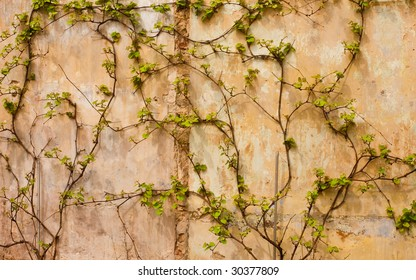 Ivy covering the wall of an old building