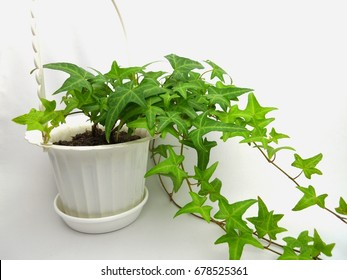 ivy in flowerpot isolated on white background