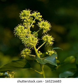 Ivy flowers (Hedera helix)