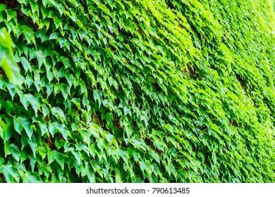ivy foliage on wall