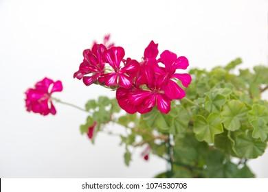 Ivy geranium, hanging geranium with purple - pink flowers
