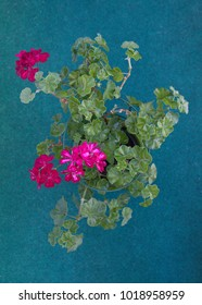 Ivy geranium with pink flowers on green background
