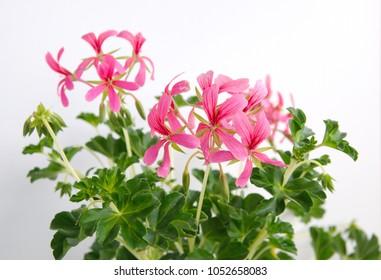 Ivy geranium with pink flowers, Geranium Peltatum, Ivy-leaf geranium, Hanging geranium,