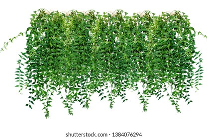 Ivy, grapes, vines, creepers. Decoration to a vertical surface. Landscape design. Isolated on white background.