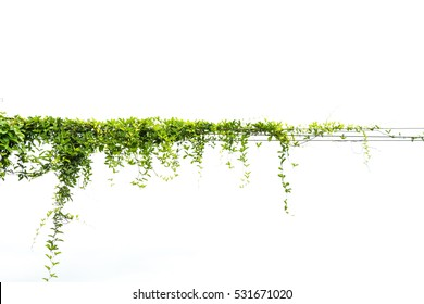 ivy green leaf isolate white background