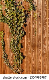 Ivy growing on a golden brown wooden fence with vertical panels with an interesting natural pattern of light and dark colours.