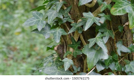 Ivy growing on a tree in the Netherlands