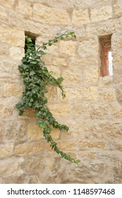 Ivy growing through a loophole