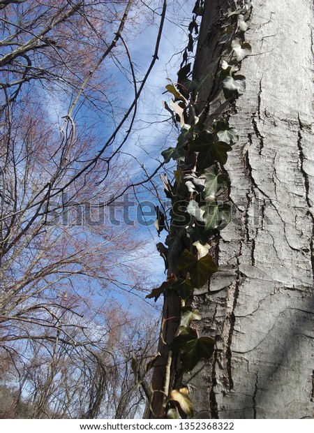 ivy growing up a tree trunk with budding maple trees and blue skies and clouds