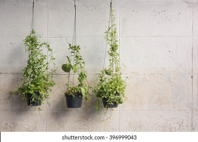 Ivy grown in plastic pots hanging on the walls.