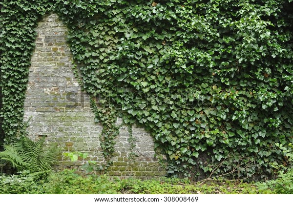 Ivy (hedera) growing over an old brick wall with a clear spot on the left side.