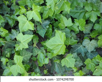 ivy (Hedera) plant useful as a background