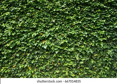 Ivy (Hedera). Wall covered with foliage. Natural green background.