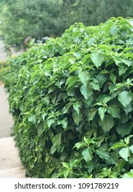 Ivy hedge in European city