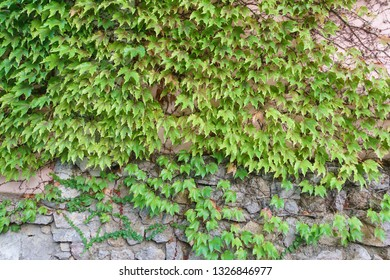 Ivy (lat. Hedera) and Virginia creeper (Parthenocissus quinquefolia) on a stone wall. Natural background