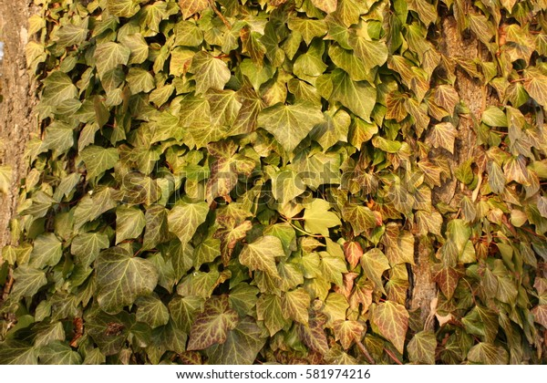 Ivy Leaf covered Wall