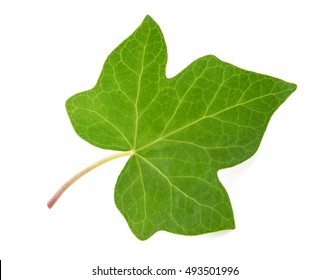 Ivy leaf isolated  on white background