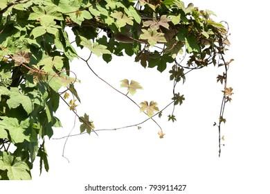 ivy leaf on pole isolate on white background