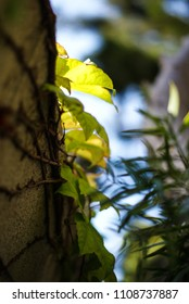 ivy leaf organic background