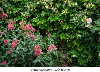 Ivy leaves, honeysuckle and red valerian flowers background.