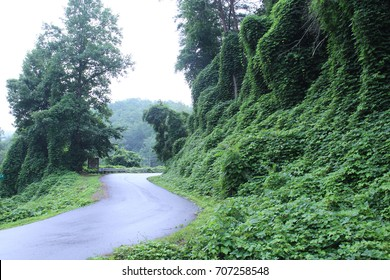 Ivy Leaves Invasive Plant Species in the Tennessee Mountain Areas