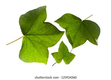 Ivy Leaves Isolated