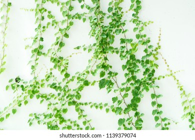 Ivy leaves isolated on white wall