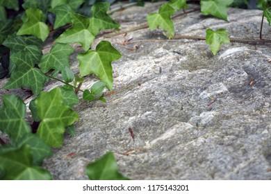 Ivy leaves on rock in garden