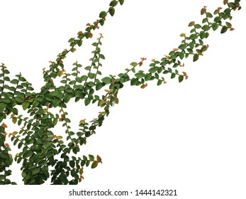 ivy leaves on a white background.