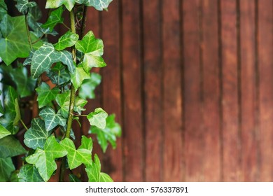 Ivy leaves on a wooden background.