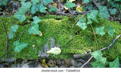 Ivy on the fallen tree trunk